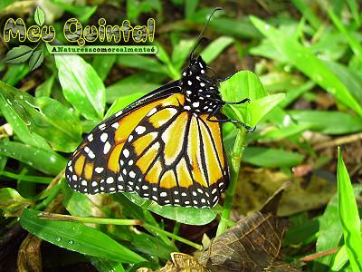 Borboleta Monarca.