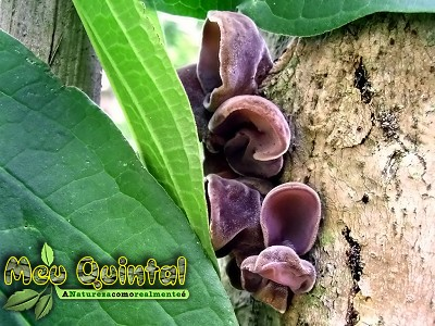Cogumelos Orelha-de-porco