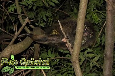 Ouriço-caixeiro à noite