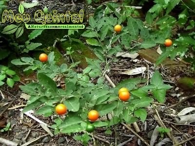 Plantinha com frutos laranja